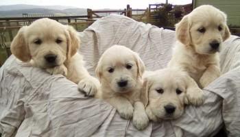 kc-golden-retriever-puppies-health-tested-parents-5a83152763f6e.jpg